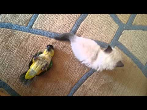 funny bird and cat playing