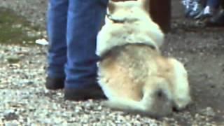 волк на выставке собак редкие кадры