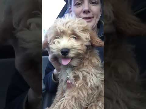 4 month old Schnoodle - Winnie litter