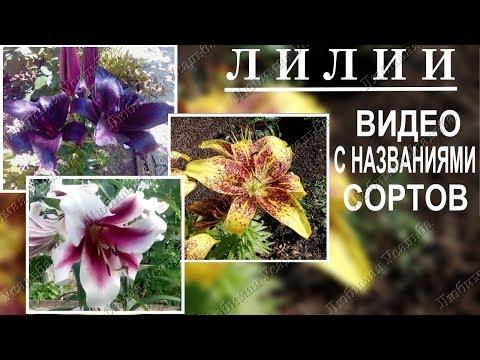 Сорта лилий с названиями  Видеообзор моих лилий в разгар цветения
