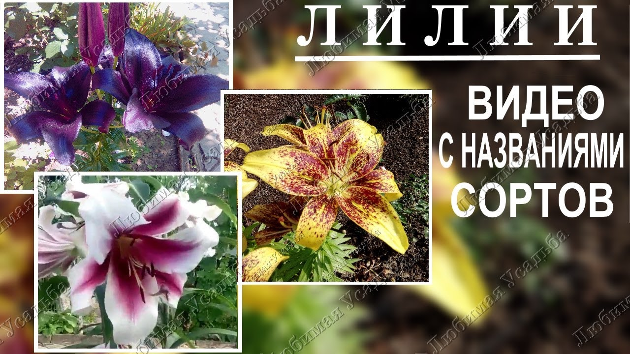 лилии с названиями фото