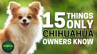 15 Things Only Chihuahua Dog Owners Understand