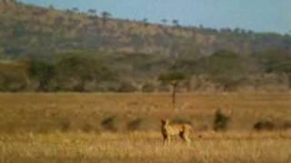 搞笑影片 非洲獅子~夠好笑