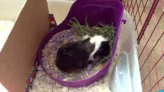 Potty Training Guinea Pig update