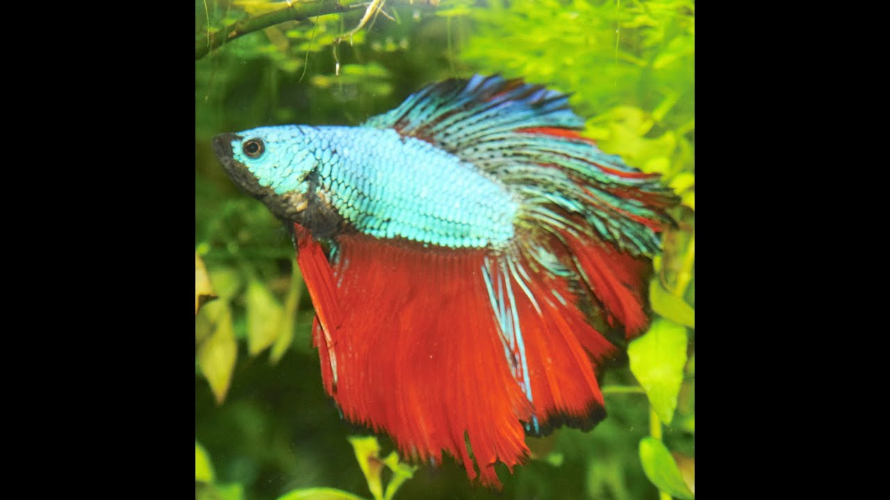 Male betta siamese fighting fish in my 35 gal community for Why do betta fish fight