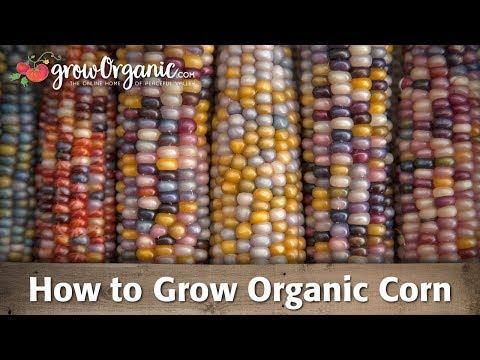 How to Grow Corn Organically