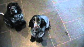 Blue Roan Cocker Spaniels Talking And Entertaining