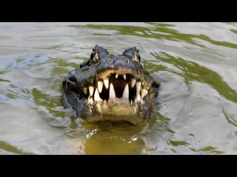 Jacar茅 devora piranha - Pantanal