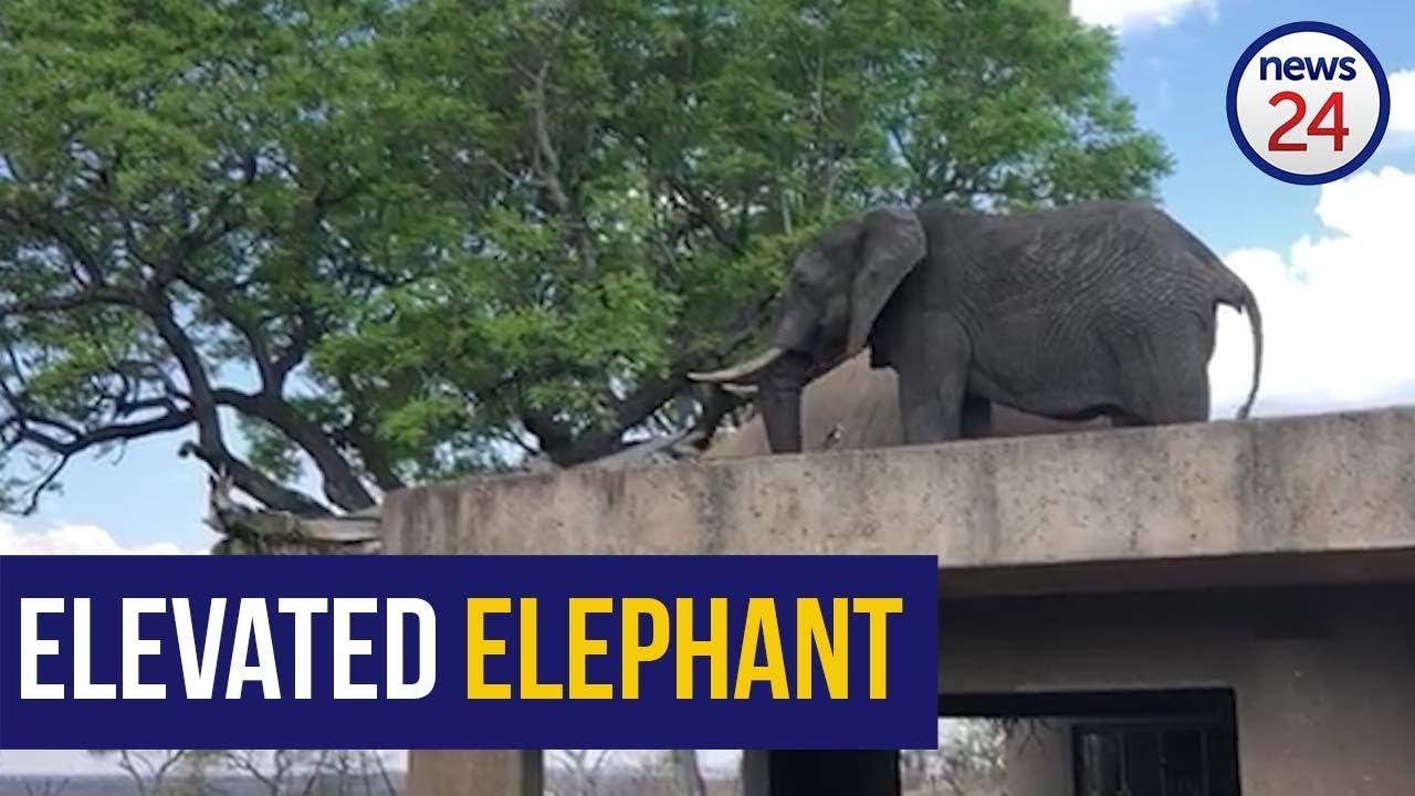 WATCH: Cheeky Sabi Sabi elephant grazes on tree from resort roof