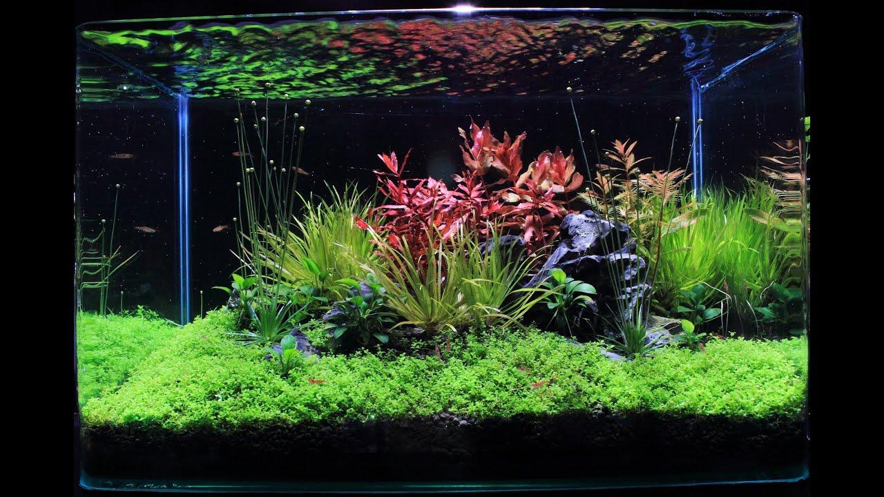 Freshwater Planted Aquarium   Summer Garden | 夏季花园   YouTube
