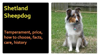 Shetland Sheepdog. Temperament, price, how to choose, facts, care, history