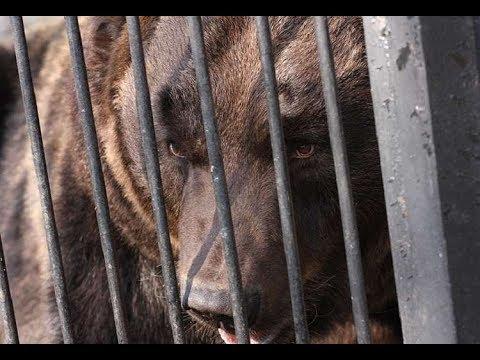 Разъяренный медведь в клетке!