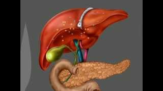 The liver, pancreas, and gallbladder
