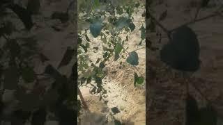 पारिवारिक वानिकी राजस्थान में पेड़ो का क्या महत्व है