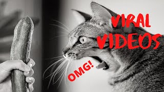 Funny birman Cats ✪ Cute and Baby Cats Videos Compilation