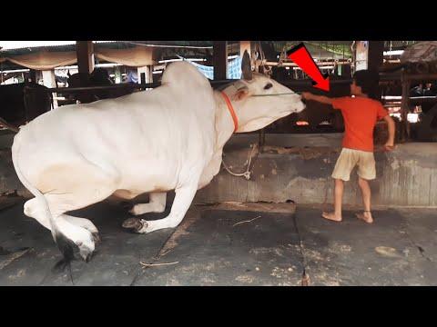 Biggest Cow in Bangladesh 2021 at Gabtoli  | Gabtoli Qurbani new collection 2021 | cow videos