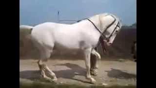 Horse Dancing On Dhol Beat In Punjab
