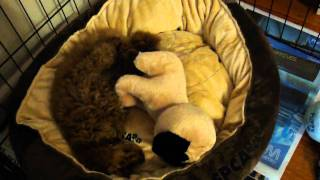 Toy Poodle Sleeping With His Toy Pug