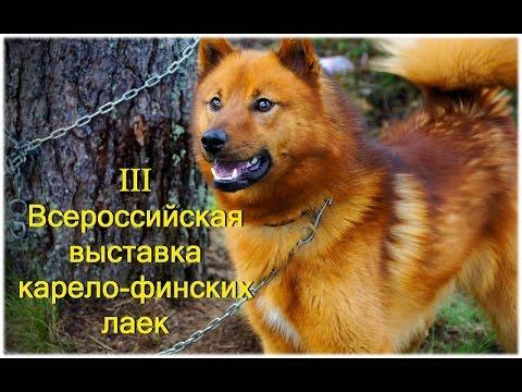 В нашем питомнике мы продаем разные породы собак русско европейская, восточно сибирская, западно сибирская лайка, а так же щенки карело финской лайки. Цена щенка варьируется от 10 до 20 тысяч рублей. Так же у нас есть подрощенные щенки лаек, 4, 5 и 6 месячные. Щенок русско европейской.