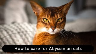 How to care for Abyssinian cats Updated 2021
