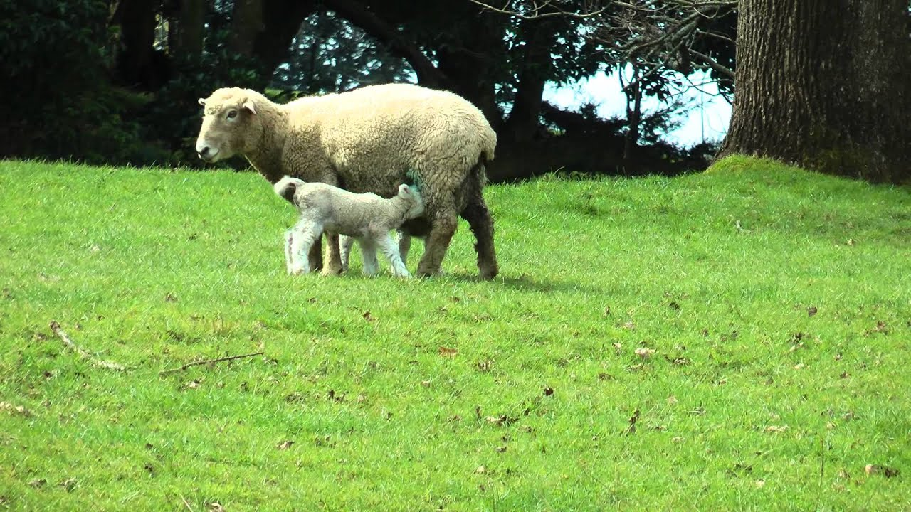 Mother sheep and her baby lambs feeding - YouTube for Happy Baby Lamb  111ane