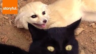 Baby Fox Loves To Play With Bigger Cat (Storyful, Cats)