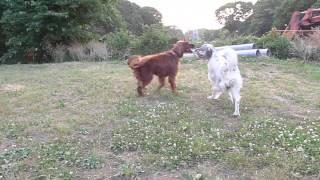 犬の広場でアイリッシュのランディ君と遊びました。