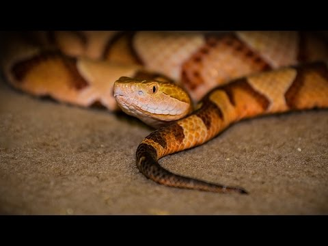 What Does A Copperhead Snake Look Like?