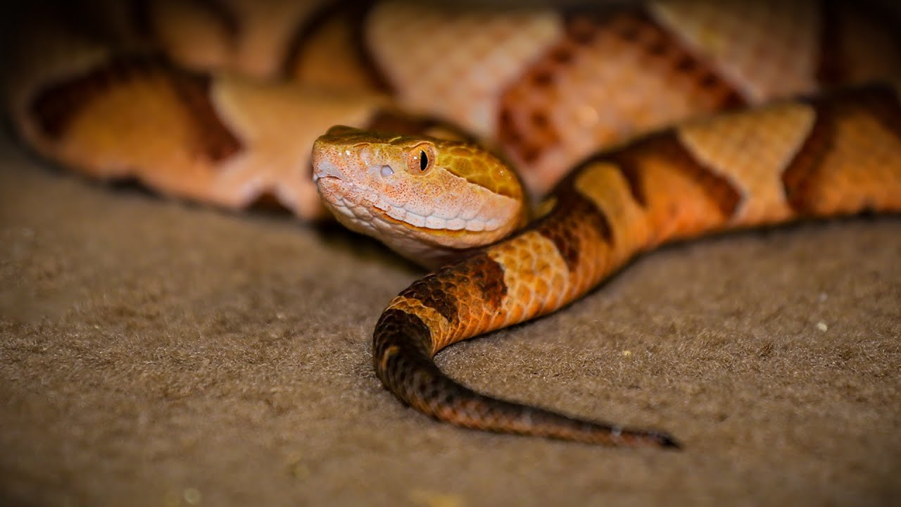 what does a copperhead snake look like