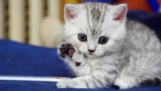 Смена зубов у котят. Как ухаживать за котенком во время смены зубов?