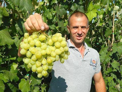 Сверхранние сорта винограда. Сезон 2017. Часть 2.  (Over the early varieties of grapes. 2017_2)