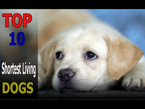 Top 10 shortest living dog breeds | Top 10 animals