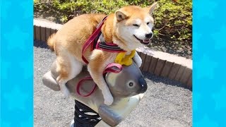 CUTEST AND FUNNIEST SHIBA INU VIDEOS   Funny Dogs Videos Compilation