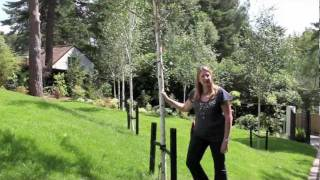 Gardening Tips: Staking Semi-Mature Trees