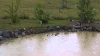 Ducklings Featured in Molly Gumnut Rescues a Bandicoot