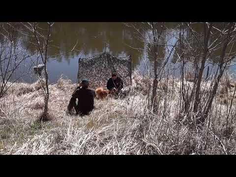 Nova Scotia Duck Tolling Retriever - tolling