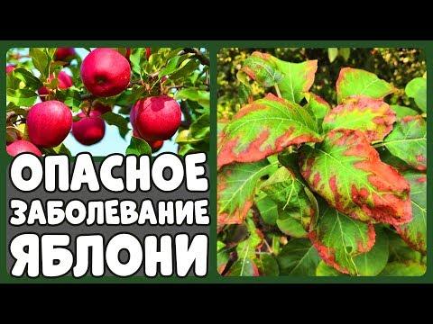 ОПАСНОЕ ЗАБОЛЕВАНИЕ ЯБЛОНИ/ ЛУЧШИЙ ТОМАТ ЧЕРРИ/ КОТЛЫ, КОТОРЫЕ ГОРЯТ НЕДЕЛЮ | листьев | лечение | краевой | засохла | яблоня | яблони | яблоне | хлороз | сохнут | почему