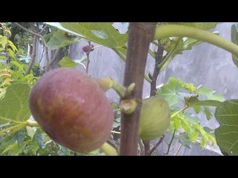 Fig tree - Ficus carica - buah tin - pokok tin - common fig