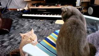 Кошка и кот в одной квартире