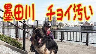 隣町迄ジャーマンシェパード犬 マック君と散歩 今日は墨田川沿いですね...