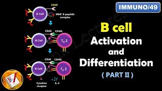 B cell Activation and Differentiation ( PART 2) : T Dependent Activation ((FL-Immuno/49)