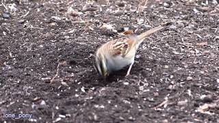 White throated Sparrow, Dark eyed Junco, Downy Woodpecker
