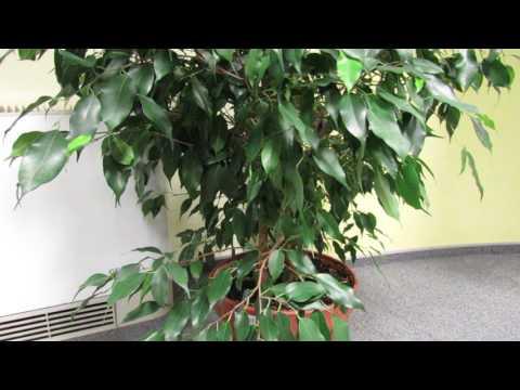 Почему ФИКУС  Бенджамина сбрасывает листья. Основные причины
