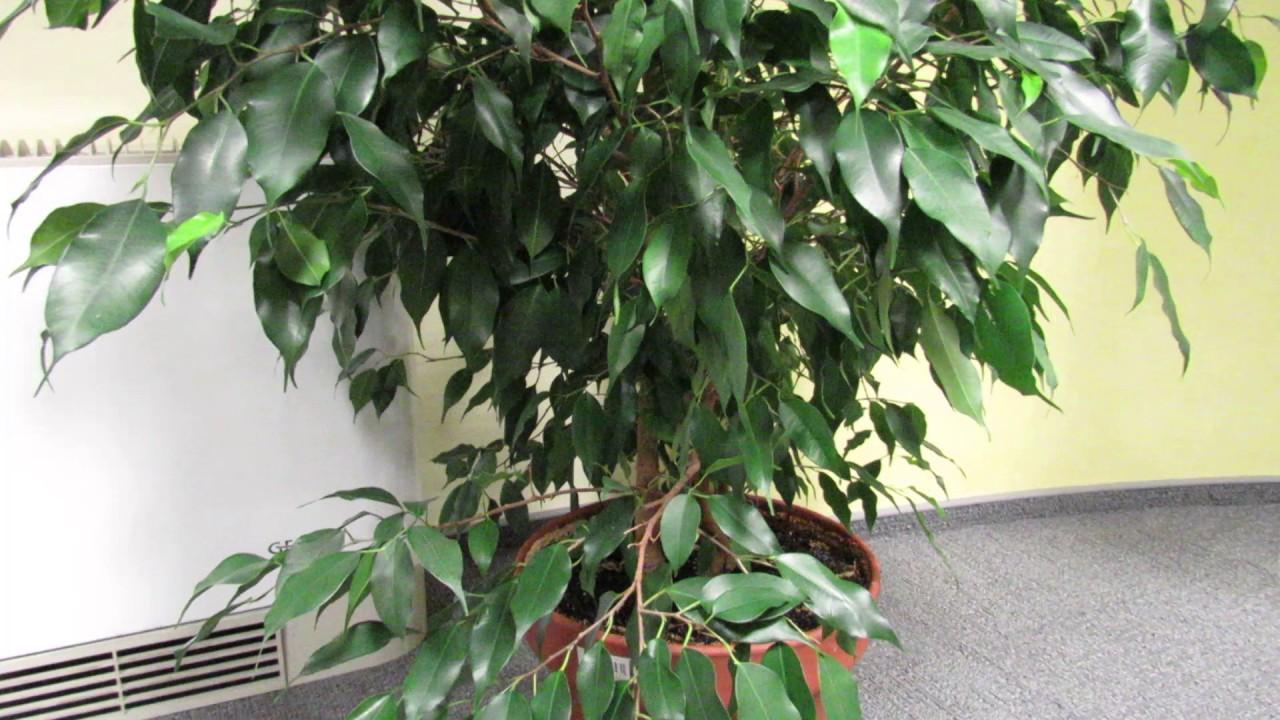 фикус теряет листья причина
