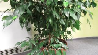 видео Почему фикус бенджамина сбрасывает листья