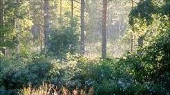 Birds singing in the morning mist / Linnunlaulua aamu-usvassa