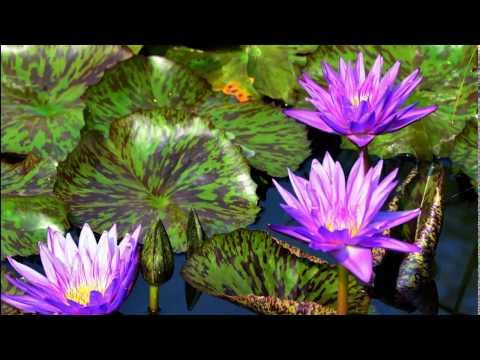Чудо цветы -  прекрасные водяные  лилии.