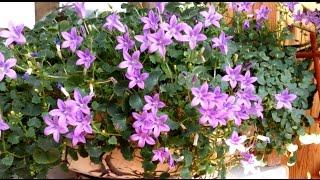 Мой мини сад - фиалки, китайская роза, колокольчик (жених) и другие...