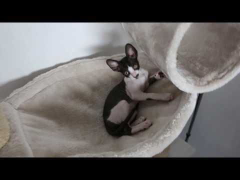 Cat Cornish Rex Dililah so cute