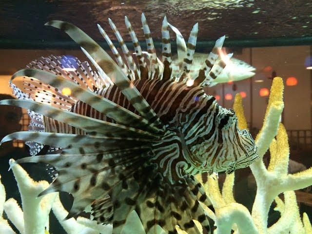 Scuba Diving Aruba Lionfish Hunters Kill 40 North Coast Dive